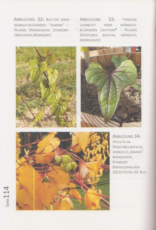 Die Chinesische Yams - Dioscorea batatas - Seite 114
