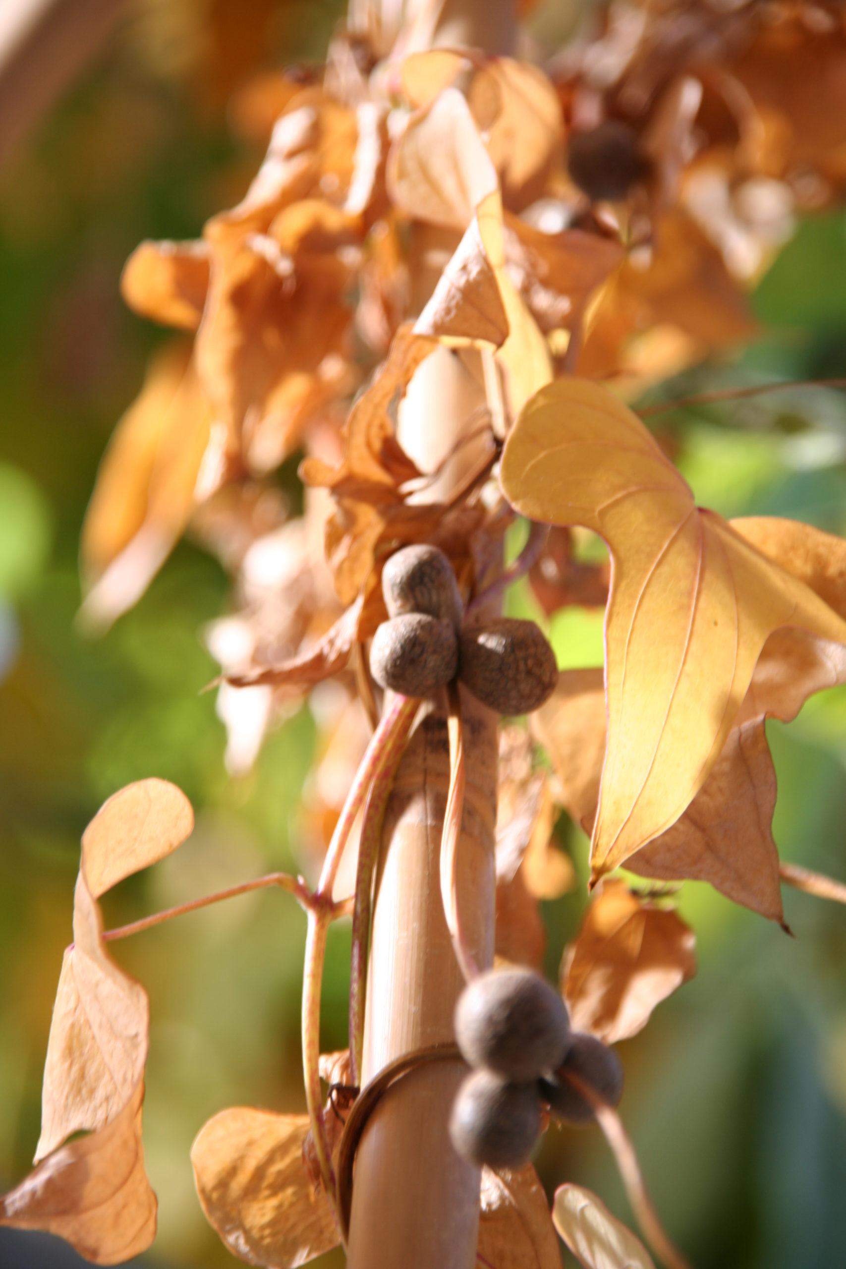 Lichtwurzel Blätter mit Bulbillen im Herbst