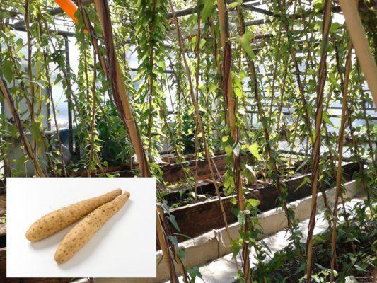Lichtwurzel Pflanzreihen in Grabenkultur und 2 Lichtwurzeln