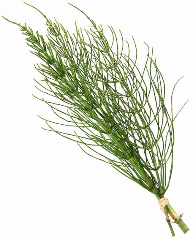 Ein Bündel Ackerschachtelhalm - Equisetum arvense